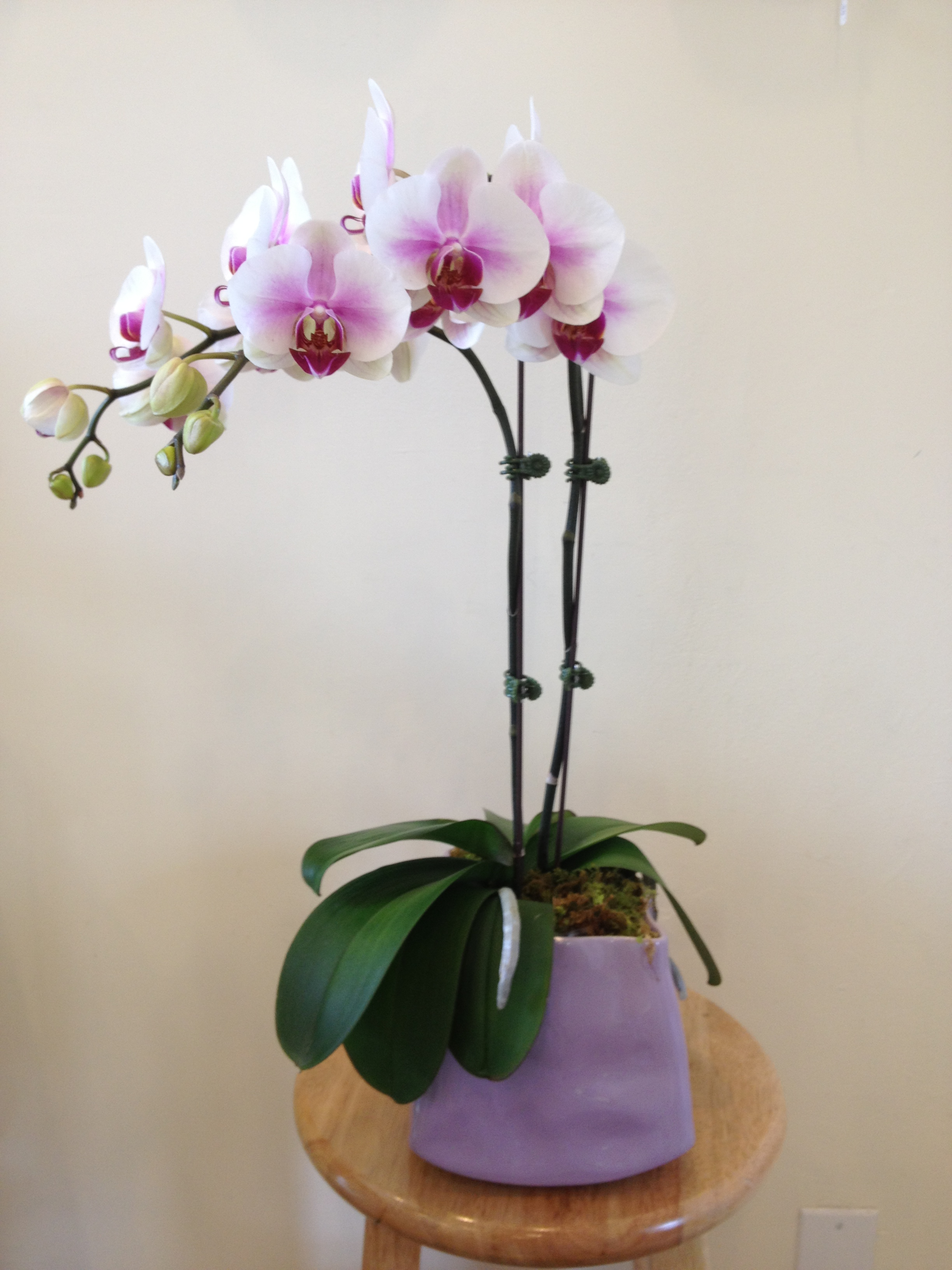 Double-Stem Orchid - $99