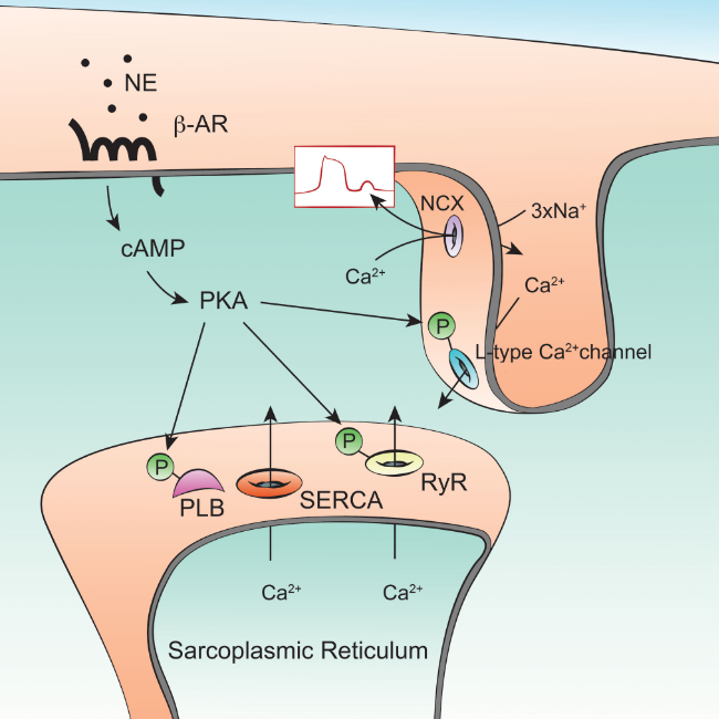 This figure was made for a review about cardiac remodeling after myocardial infarction.