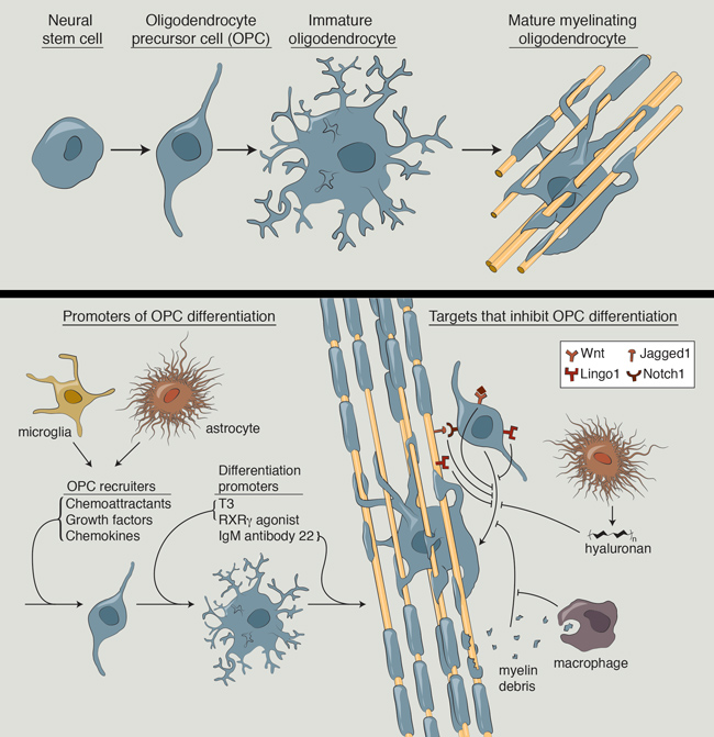 Remyelination and multiple sclerosis: therapeutic approaches and challenges.   Hartley MD  1  ,  Altowaijri G  ,  Bourdette D  .  2014 Oct;14(10):485. doi: 10.1007/s11910-014-0485-1.