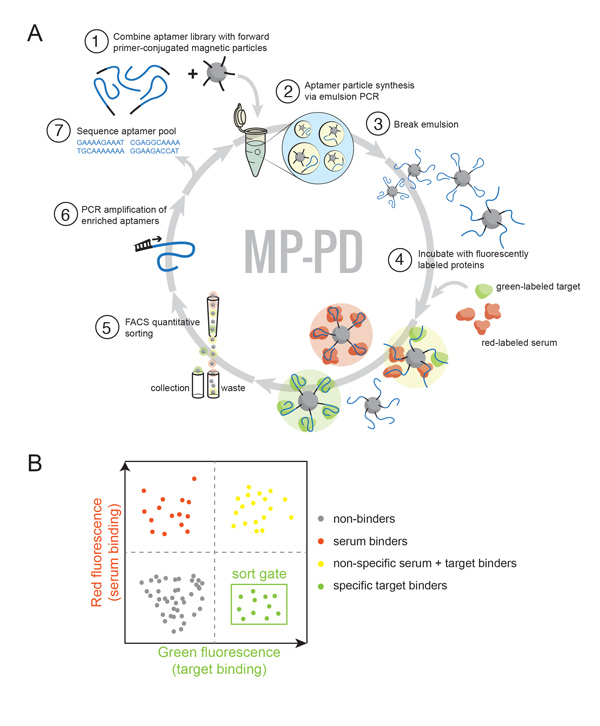 Angew Chem Int Ed Engl. 2016 Dec 9. doi: 10.1002/anie.201608880. [Epub ahead of print]  Multiparameter Particle Display (MPPD): A Quantitative Screening Method for the Discovery of Highly Specific Aptamers.  Wang J, Yu J, Yang Q, McDermott J, Scott A, Vukovich M, Lagrois R, Gong Q, Greenleaf W, Eisenstein M, Ferguson BS, Soh HT.