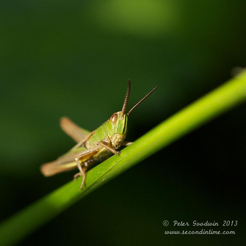 Grasshopper (1).jpg