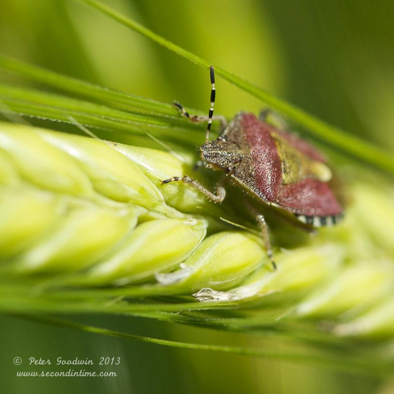 Sloe Bug (1).jpg
