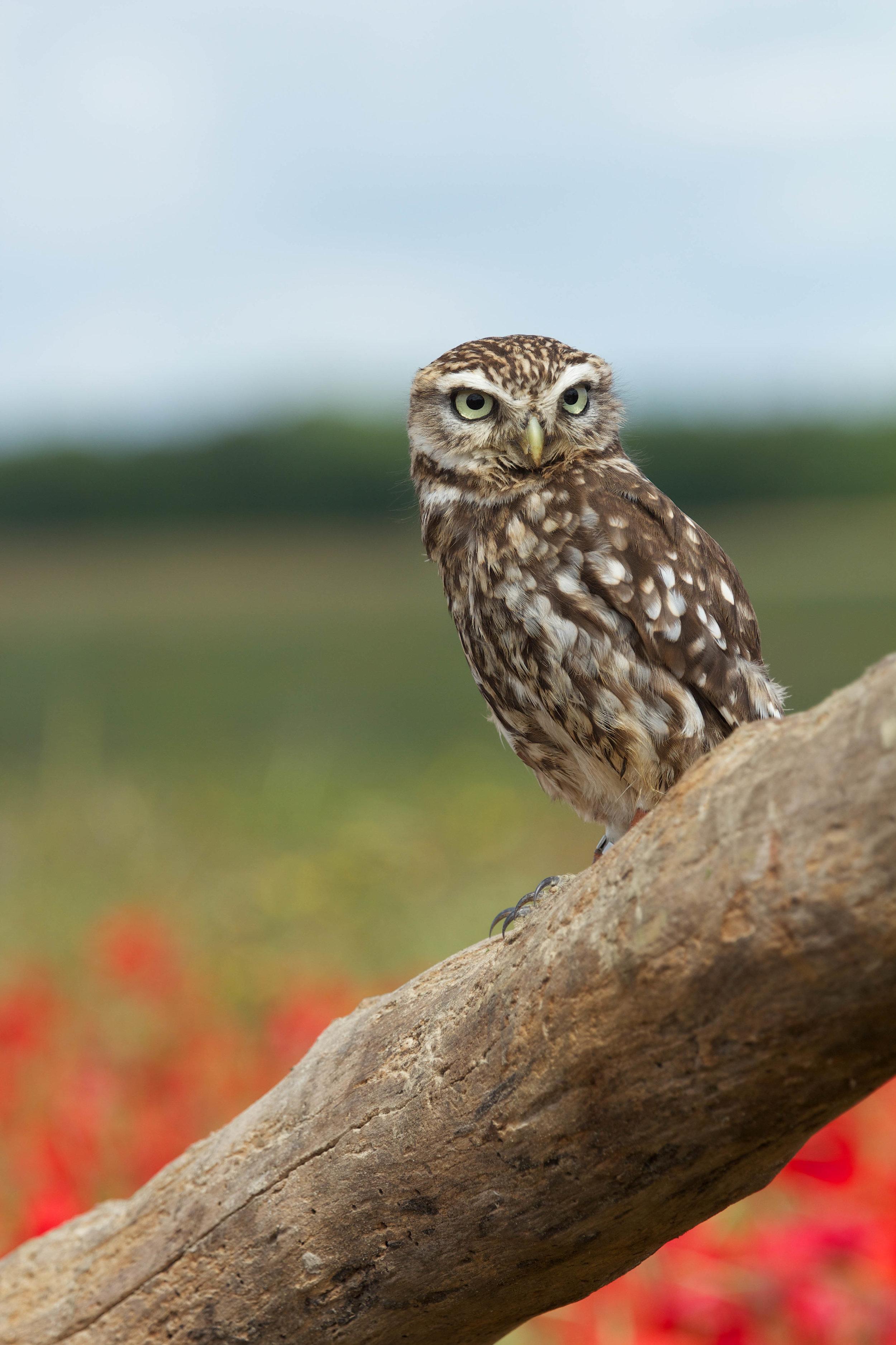 Little Owl (1).jpg