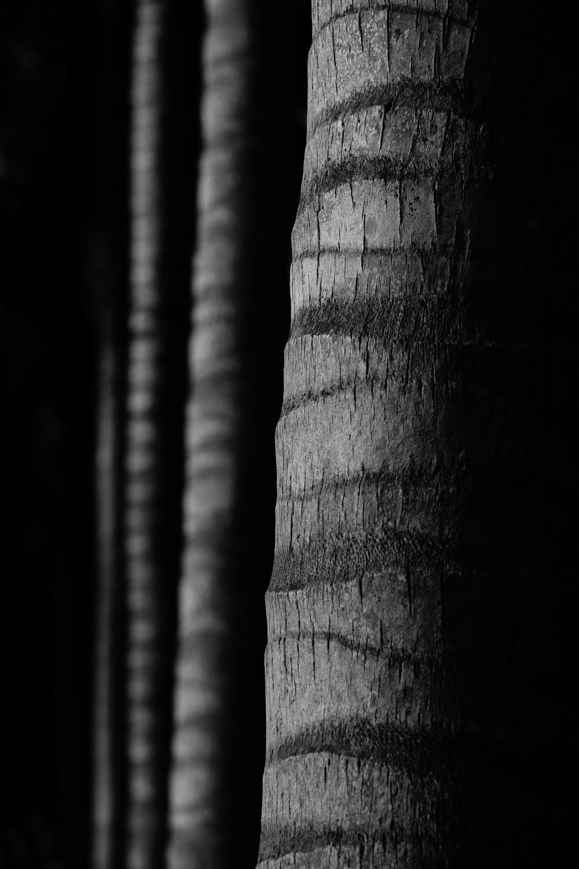 Trunks of Palm Trees_resize.jpg