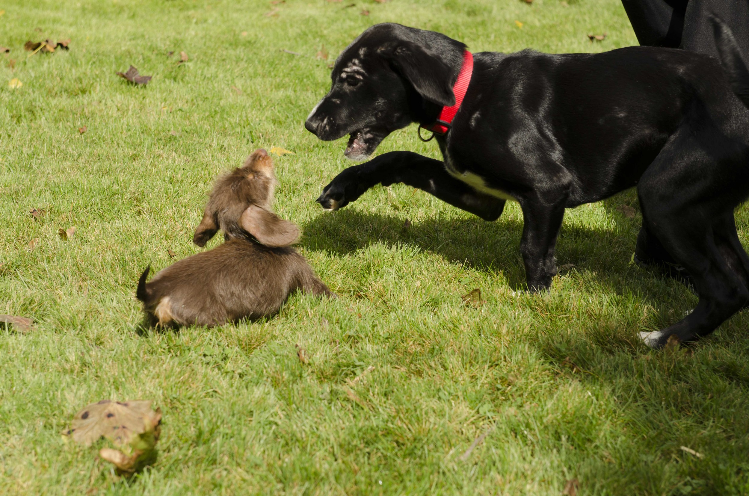 A miniature long haired dachshund fights with a larger dog