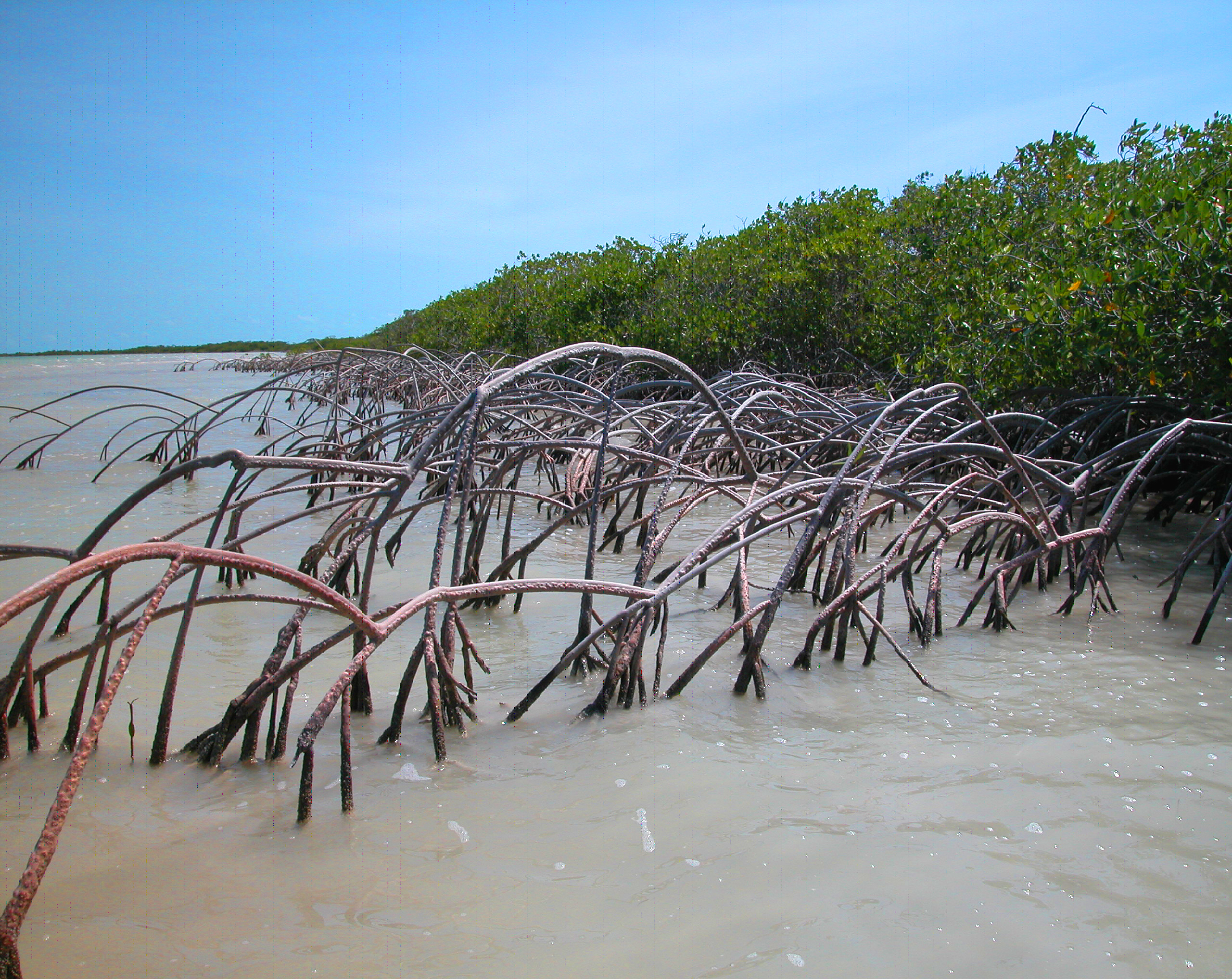 Coastal Fringe Mangrove.jpg