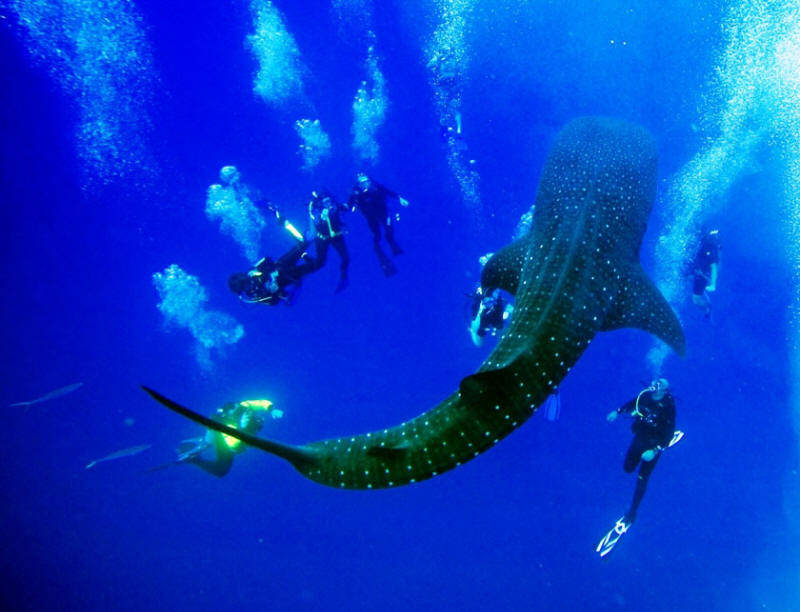WhaleShark_01.jpg