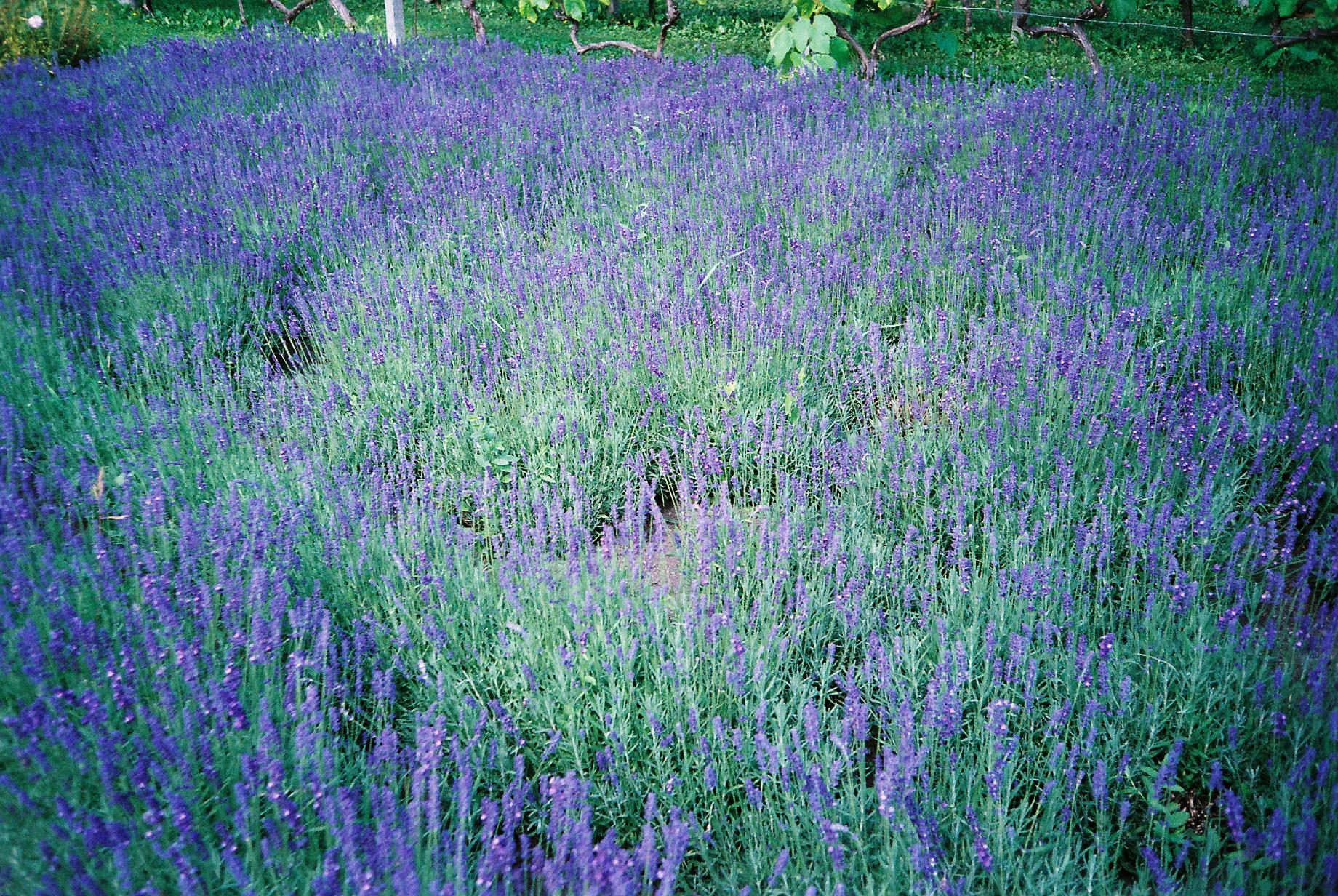 Purple field. Copenhagen