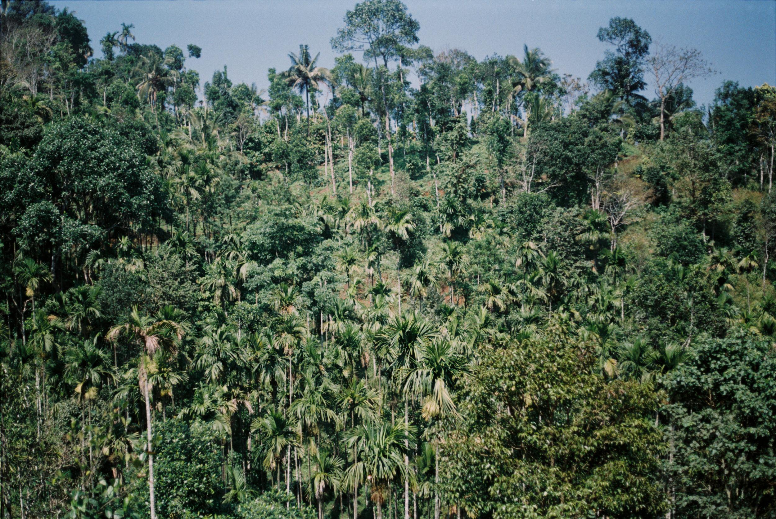 Palms. Wainad