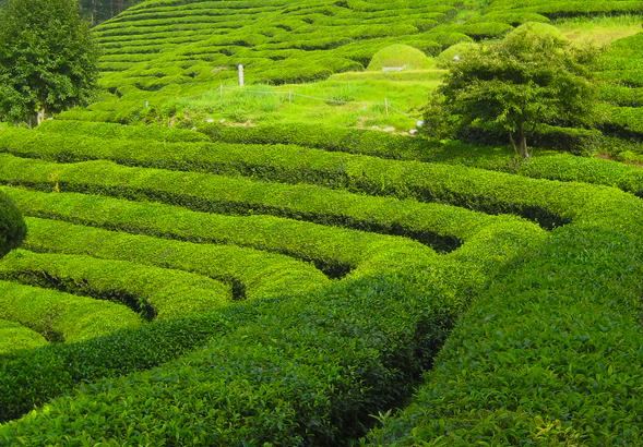 Teodlingar är vackra! Ett tips är att bladen blir dyrare när det blir fastslaget att grönt te kan bota cancer!