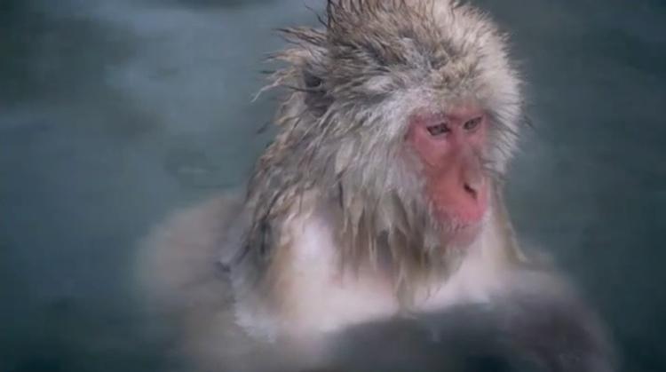 Japanska snöapor - makaker - tar ett skönt badpass i de varma källorna uppe i Nagano.
