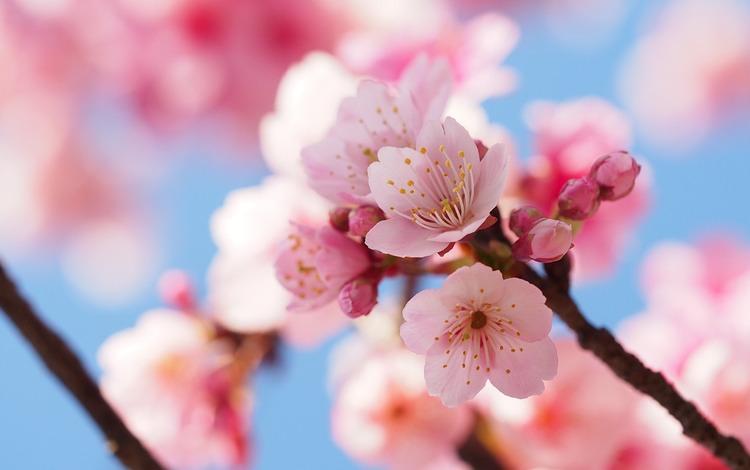 Vackra små saker där uppe i de knotiga körsbärsträden.. Passa på att njuta av deras korta blomningstid.  Foto: Public Domain
