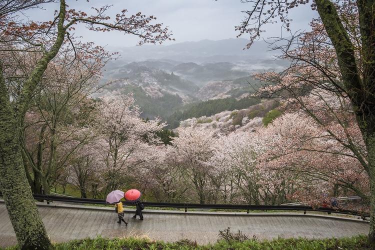 Körsbärsblomning i bergen i Nara..  Foto: Public Domain