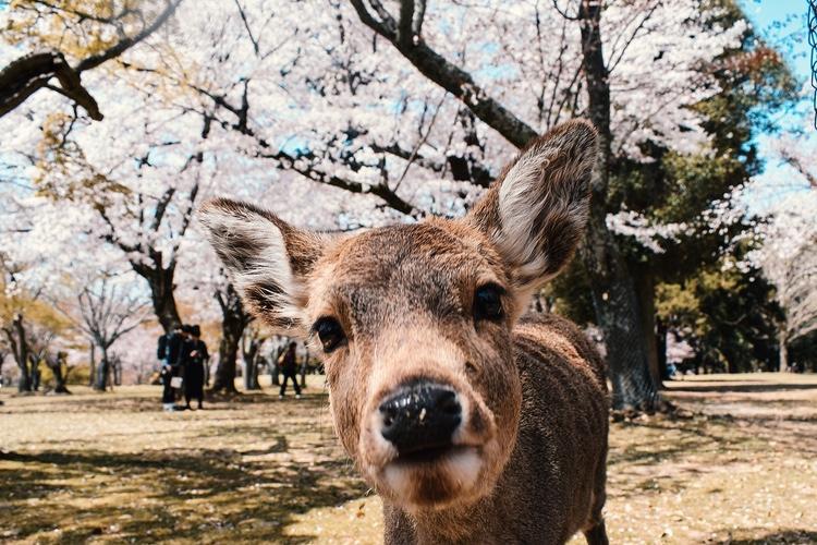 Ett av hundratals tama rådjur i Nara Park, mitt i staden.  Foto: Public Domain