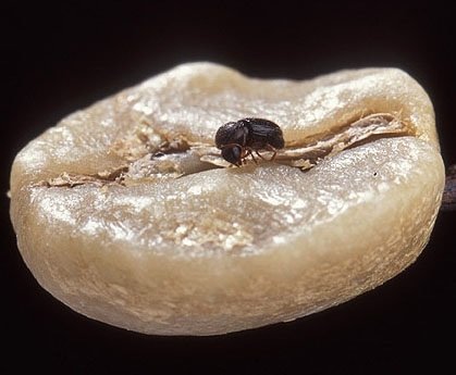 The coffee pest burrows in the berry to lay its eggs.  Photo courtesy of P. Greb