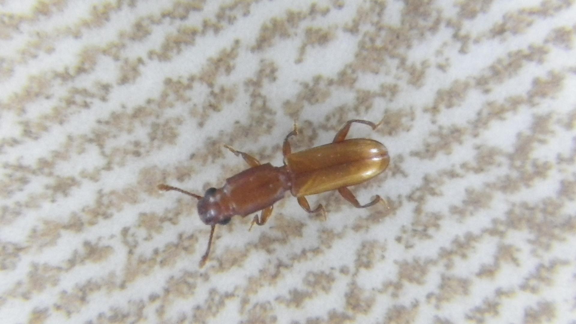Cathartus quadricollis  - Square-necked Grain Beetle Photo: Brian Spears