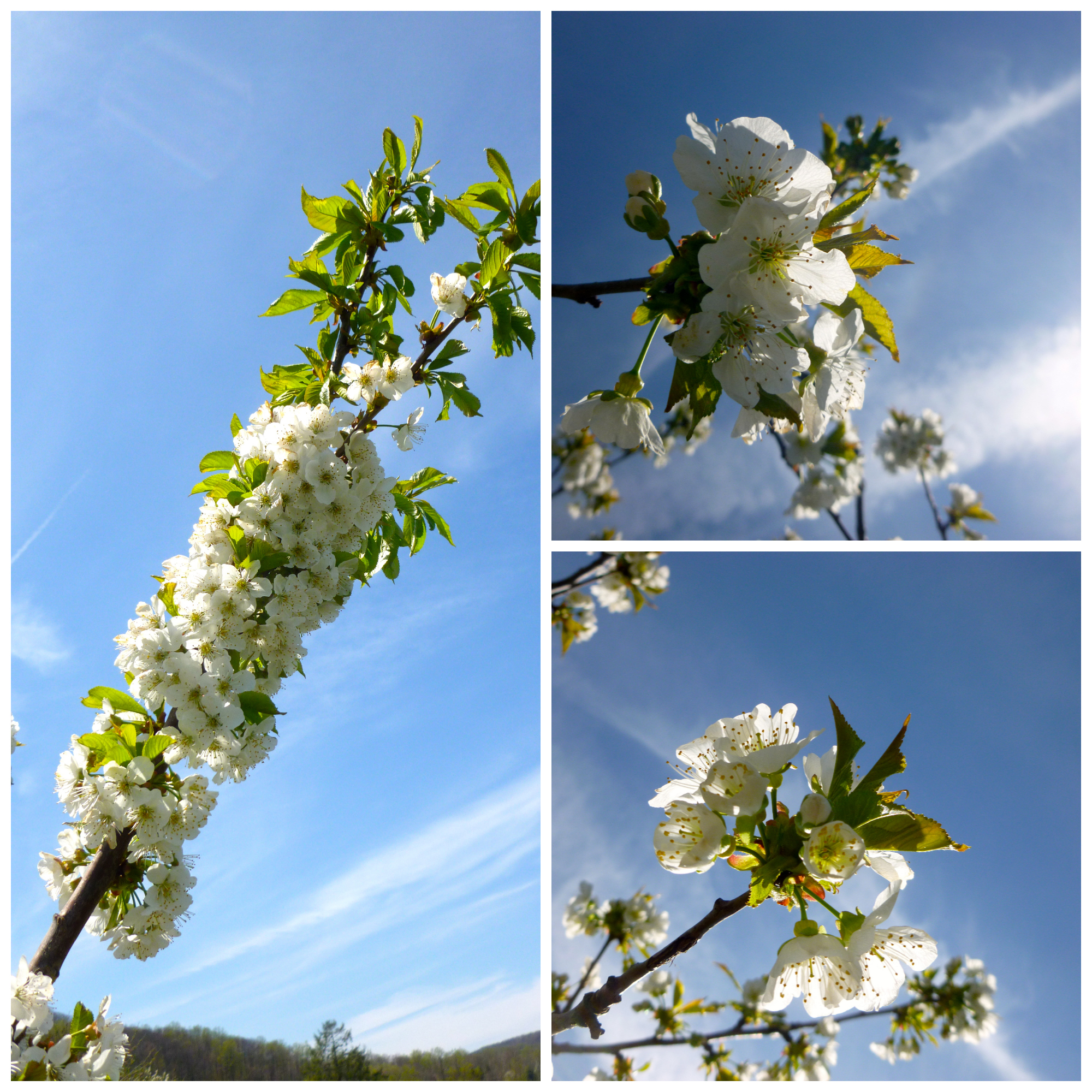 Cherries, plums and plumcot blossoms.