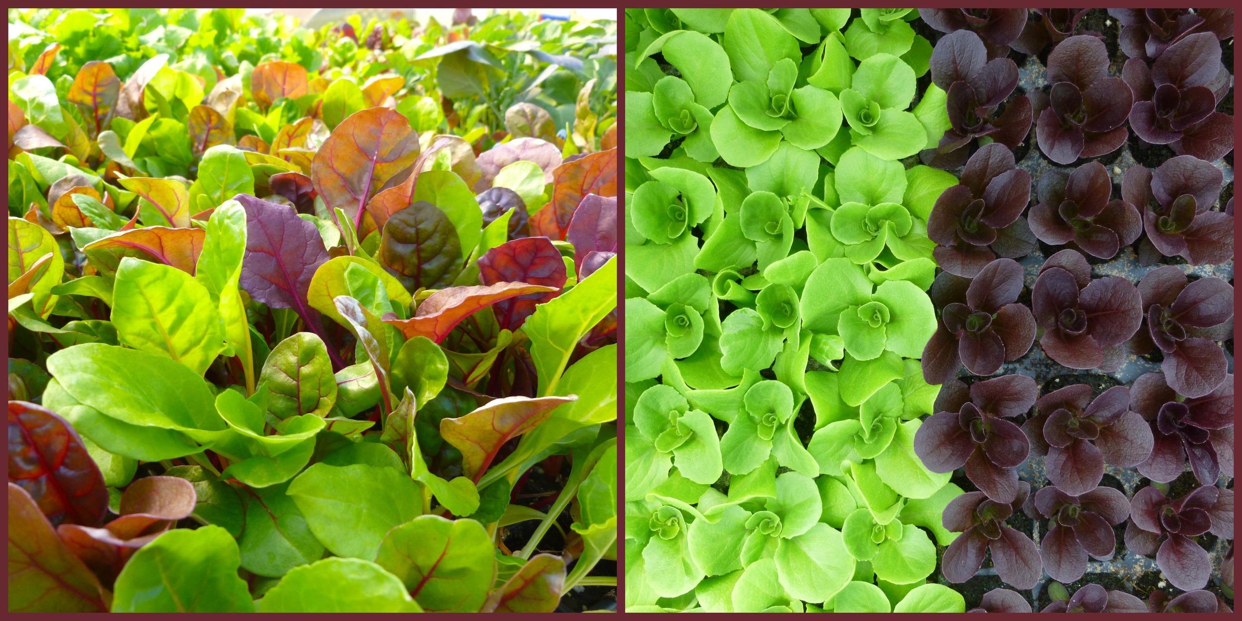 lettuce.jpg.jpg