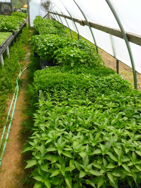 Basil plants - every variety