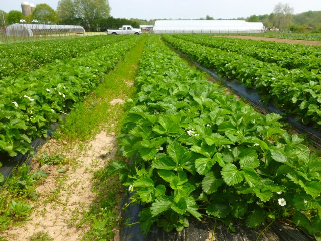 Rows of strawberries!