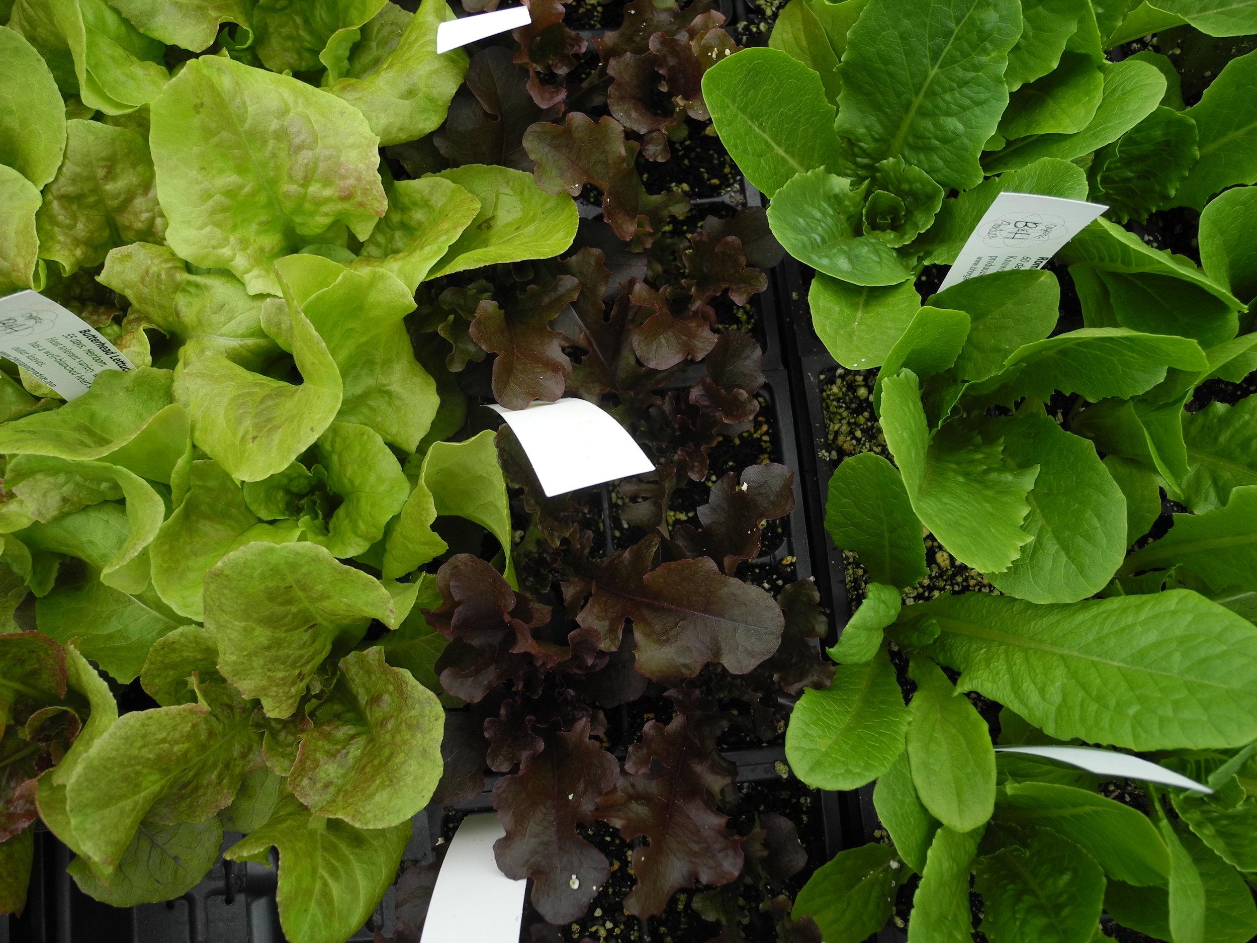Lettuce eat veggies!