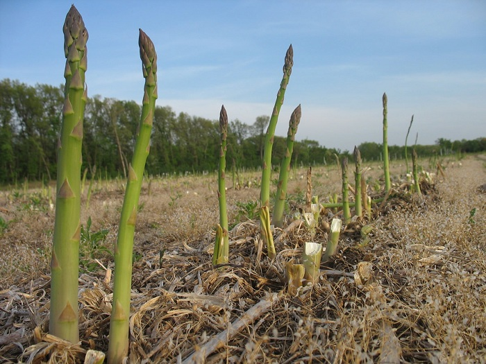 Growing-Asparagus-2.jpg