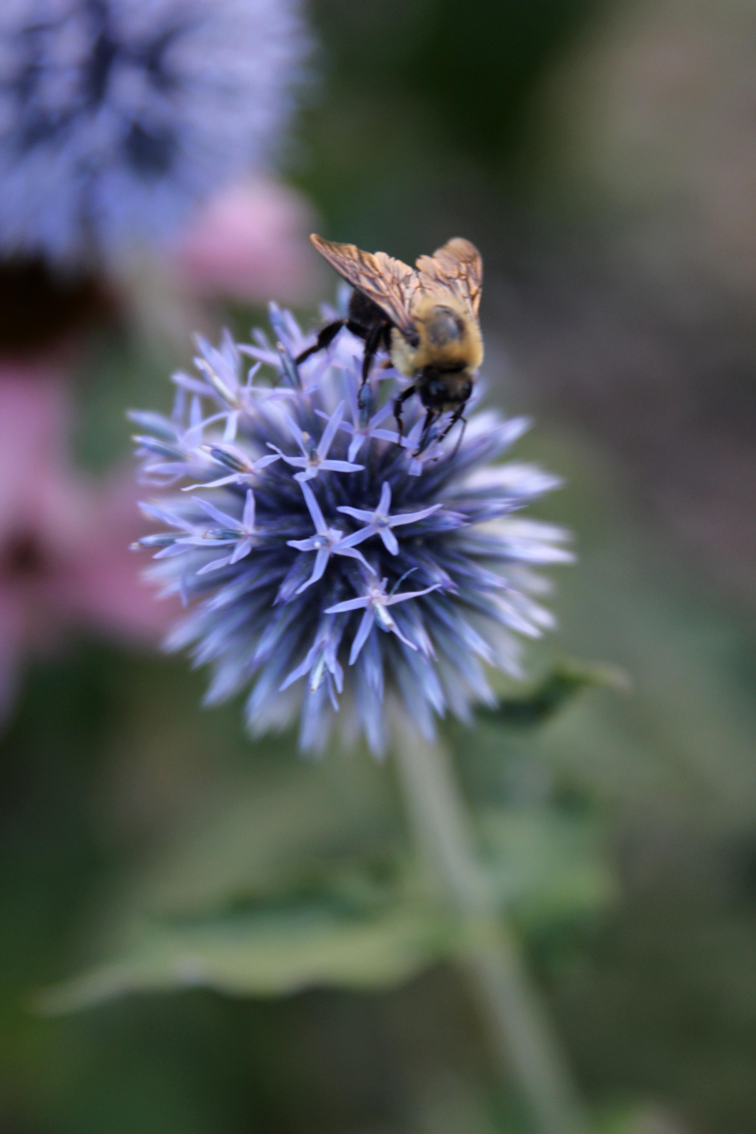 bee on thistle.jpg
