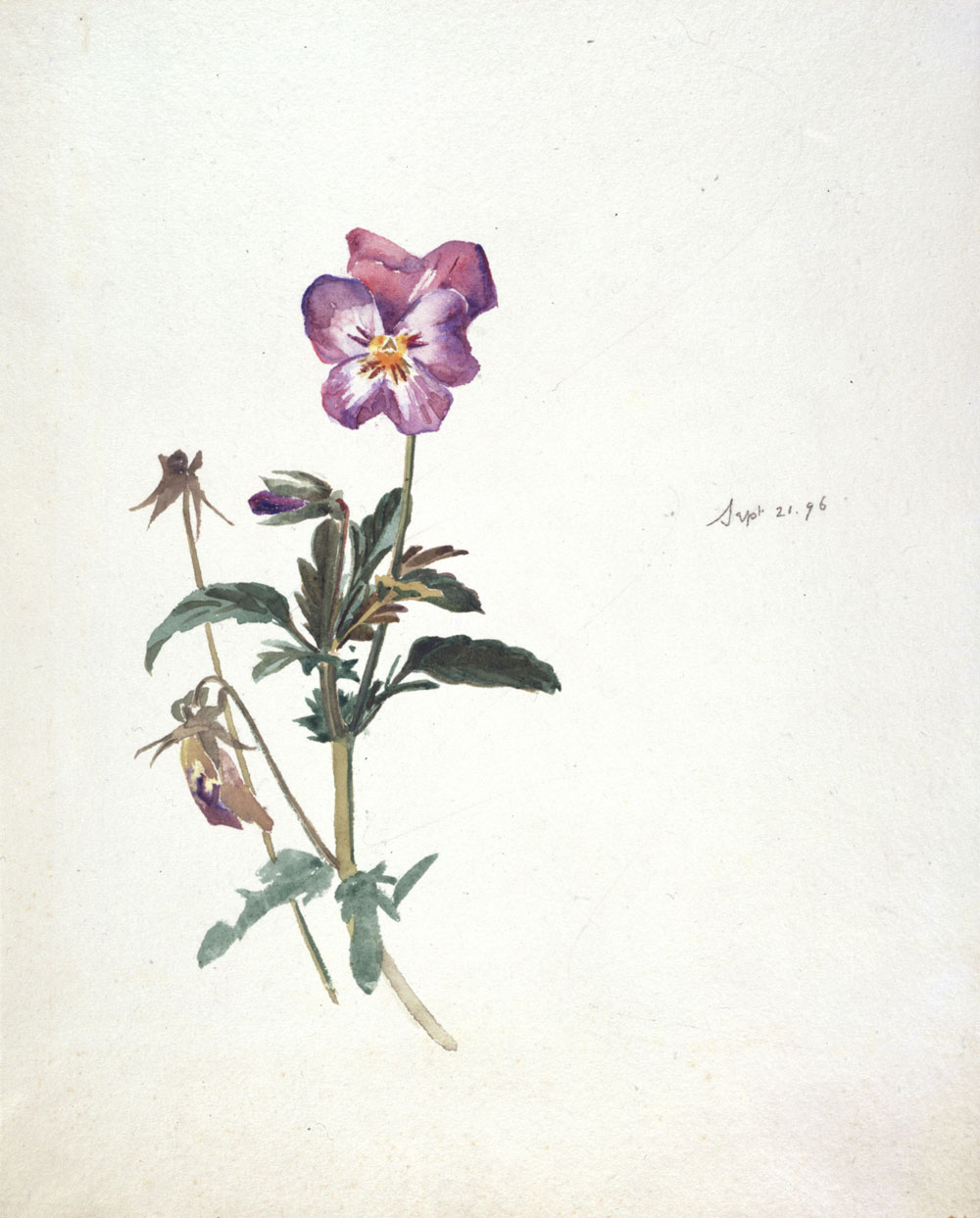 Beatrix Potter. Pansy (botanical illustration). 21 September 1896. from Victoria and Albert Museum.