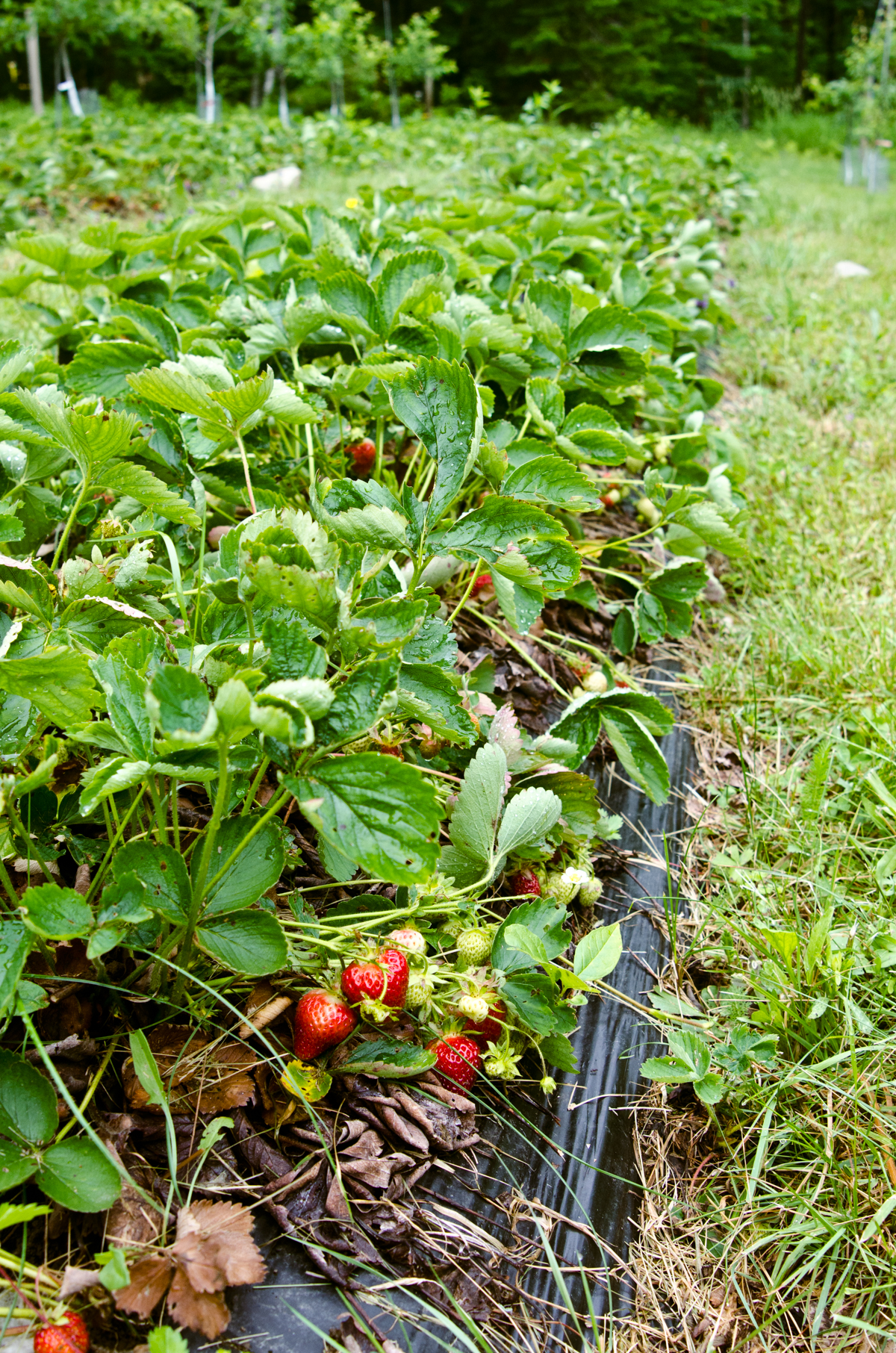 Orchard Berries, Apples & Pears    Photos: Melissa DiPalma