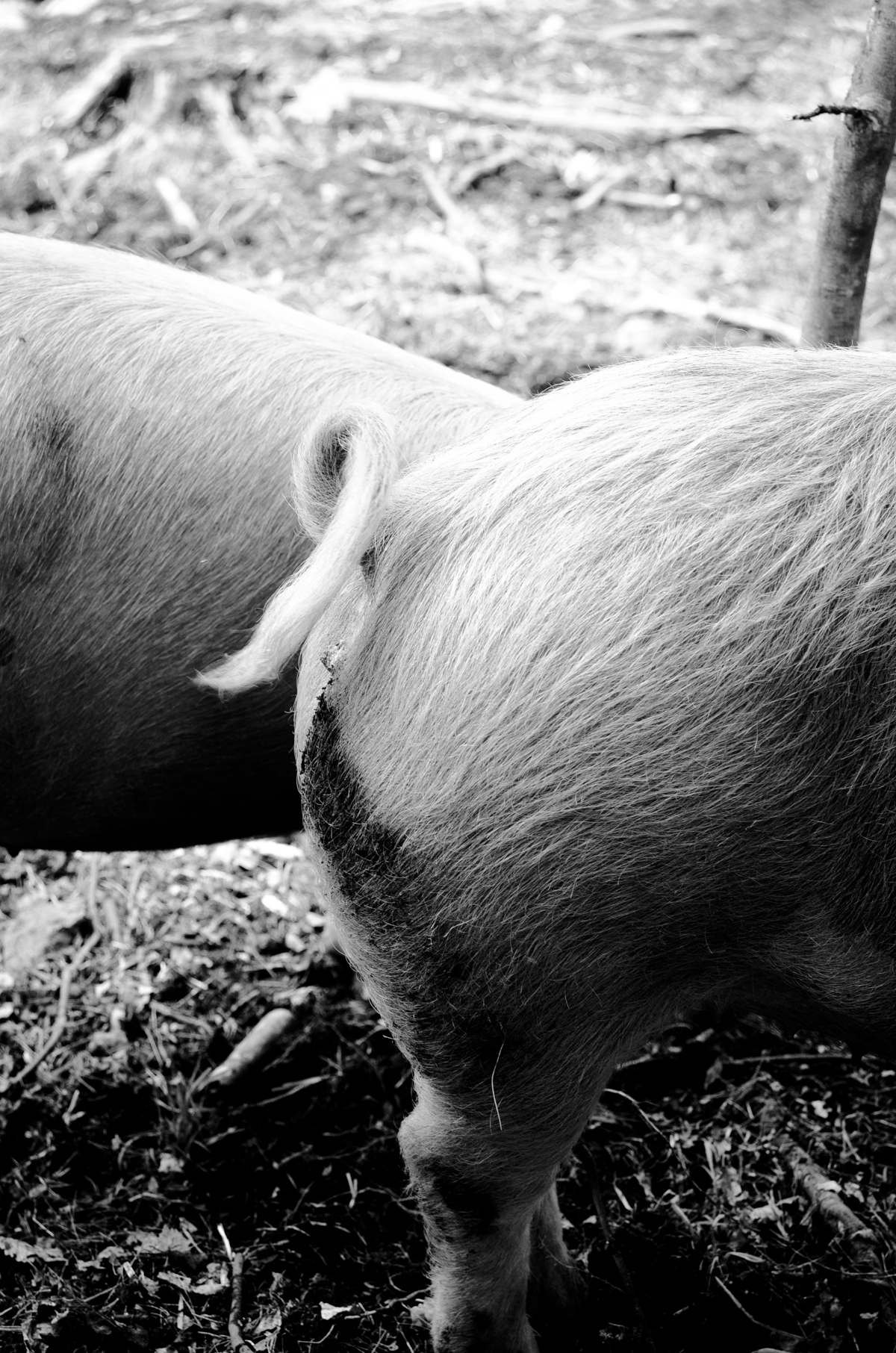 Pigs Raised in NH Woods    Photos: Melissa DiPalma
