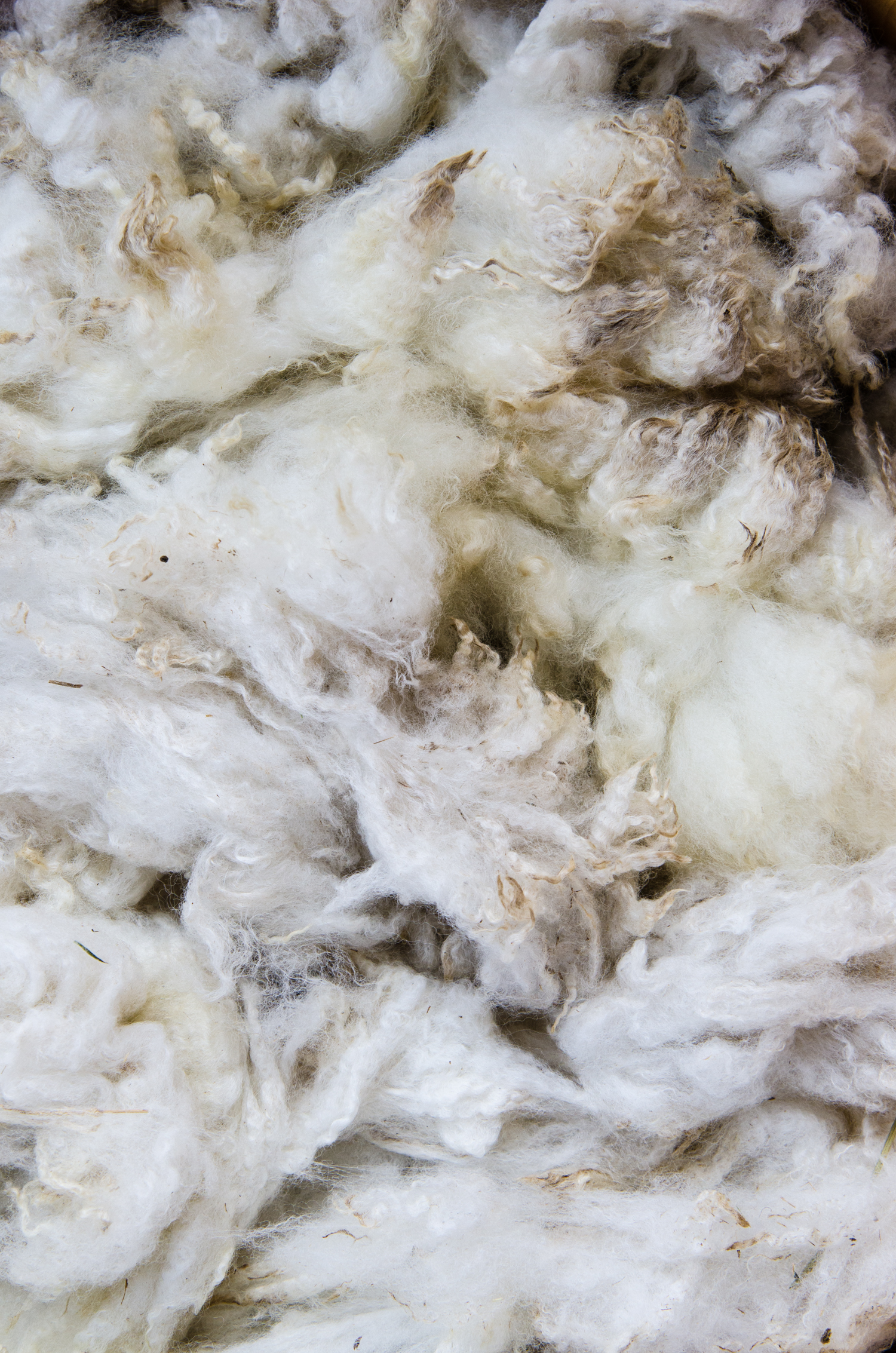 Raw fleece from recent shearing.