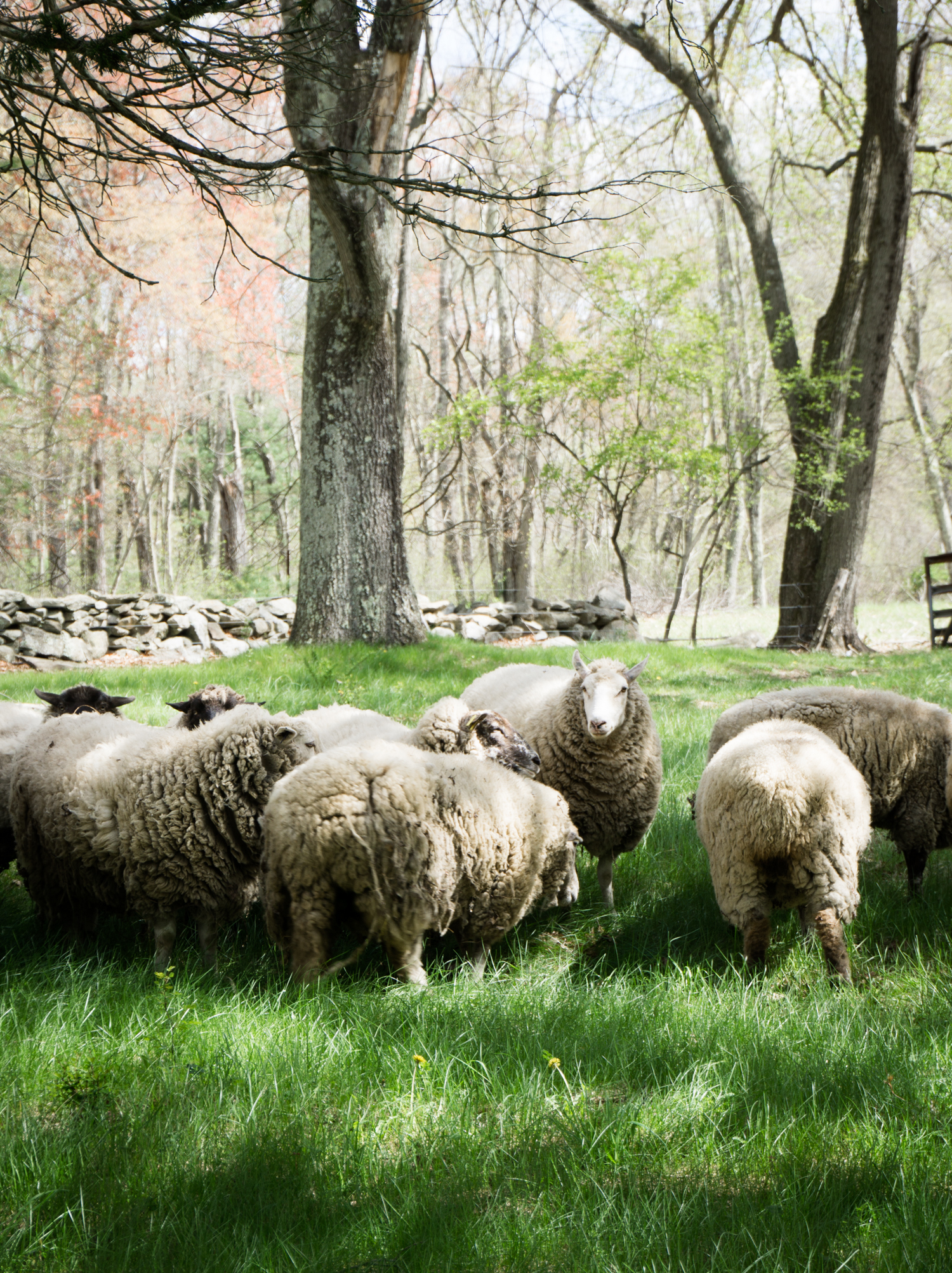 Sheep flock at Tree House Farms in Millis, MA.