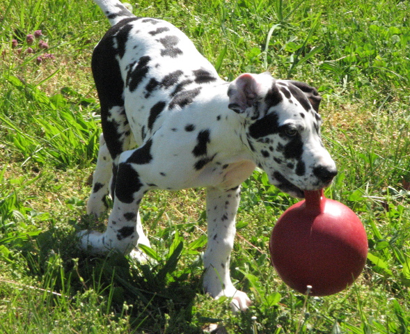 Frequently Asked Questions — Great Dane Rescue of the