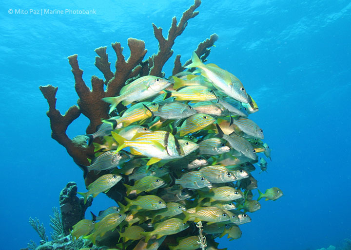 Elkhorn coral and grunts, Ambergris Caye, Belize