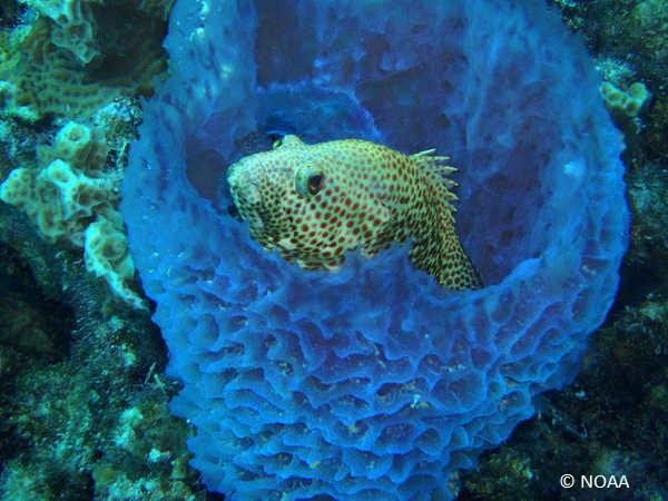 noaa_blue_sponge_with fish_CREDIT.jpg