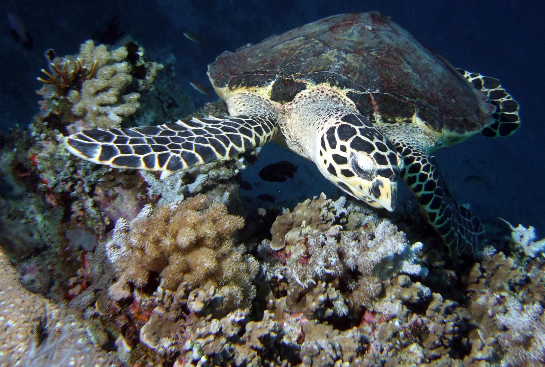 Hawksbill turtle_GBR_Pete Faulkner.jpg