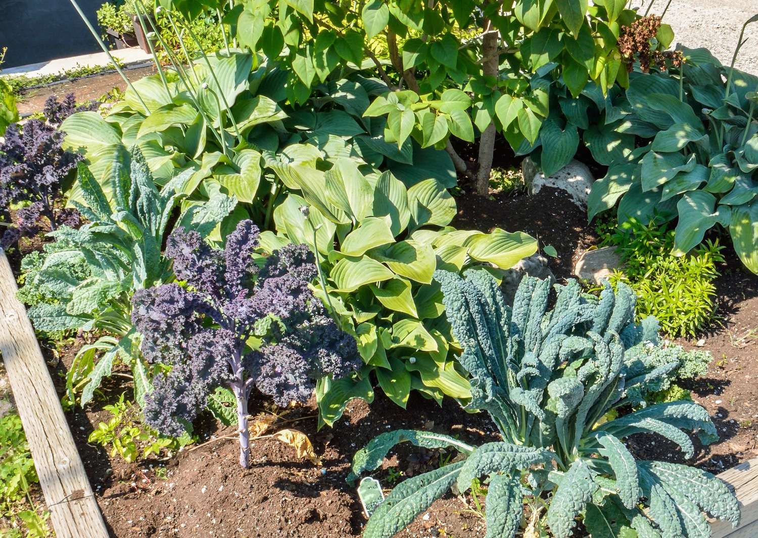 Landscaped vegetable garden with kale growing in a city during summer.jpg