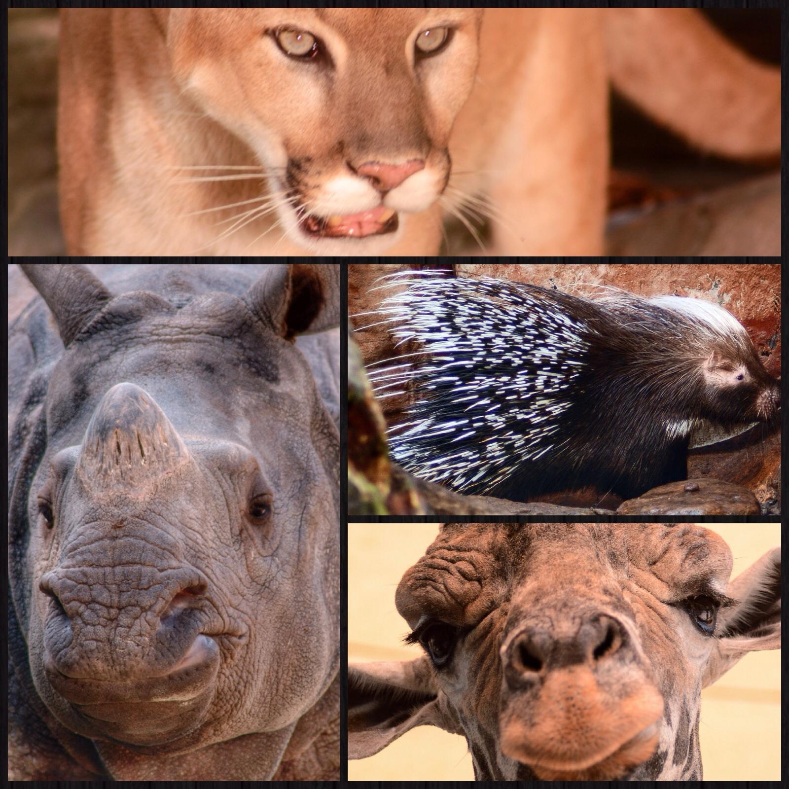 Cougar, Indian Rhino, Porcupine, and Giraffe