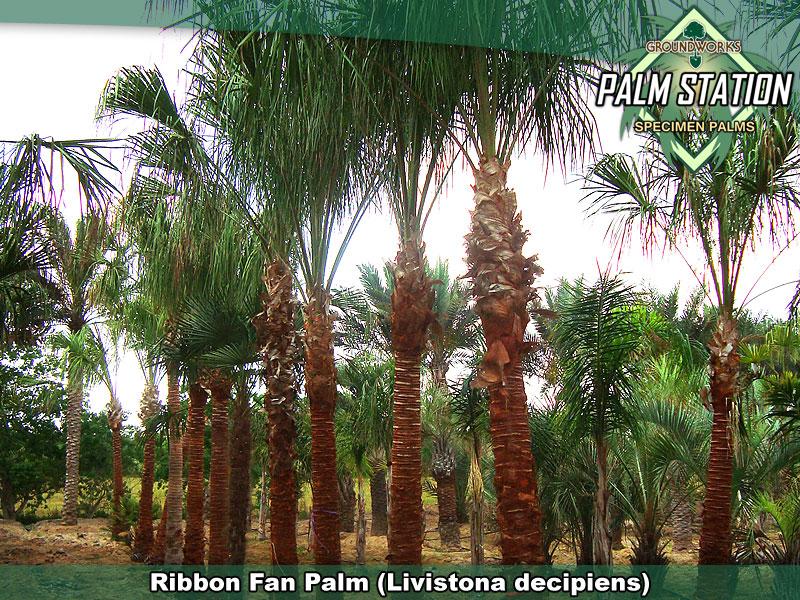 Ribbon_Large_W.jpg