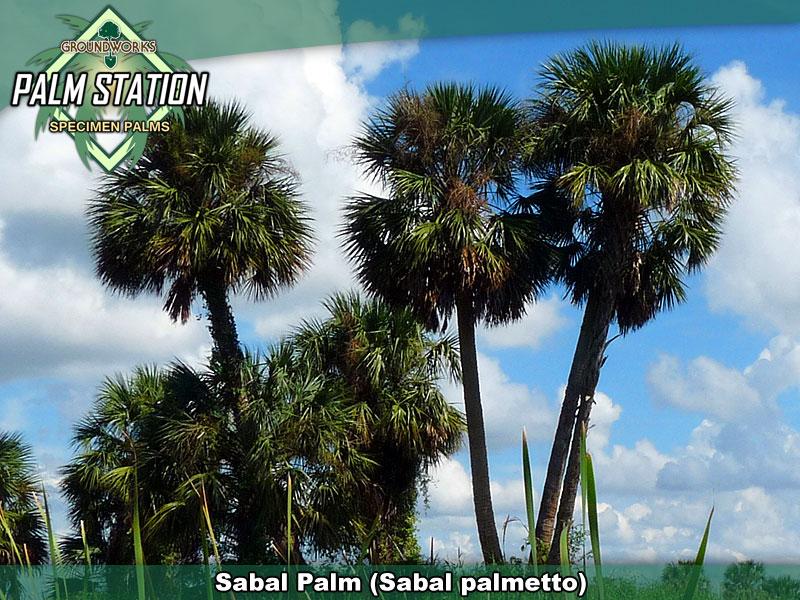 Sabal_Large_W.jpg