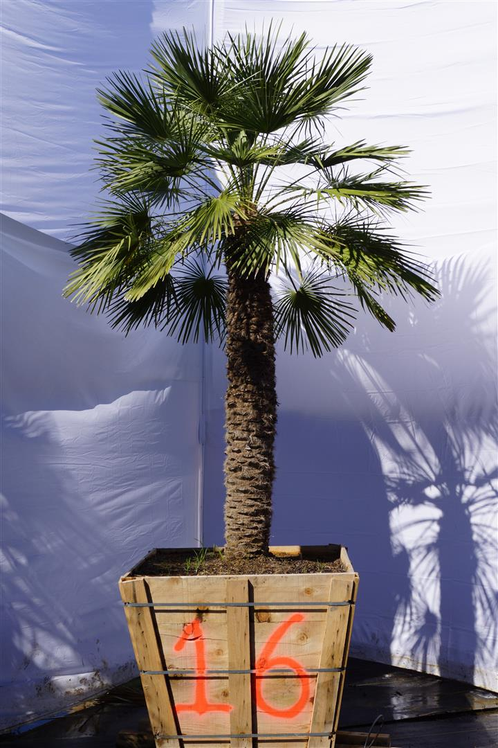 Palm Number: 16