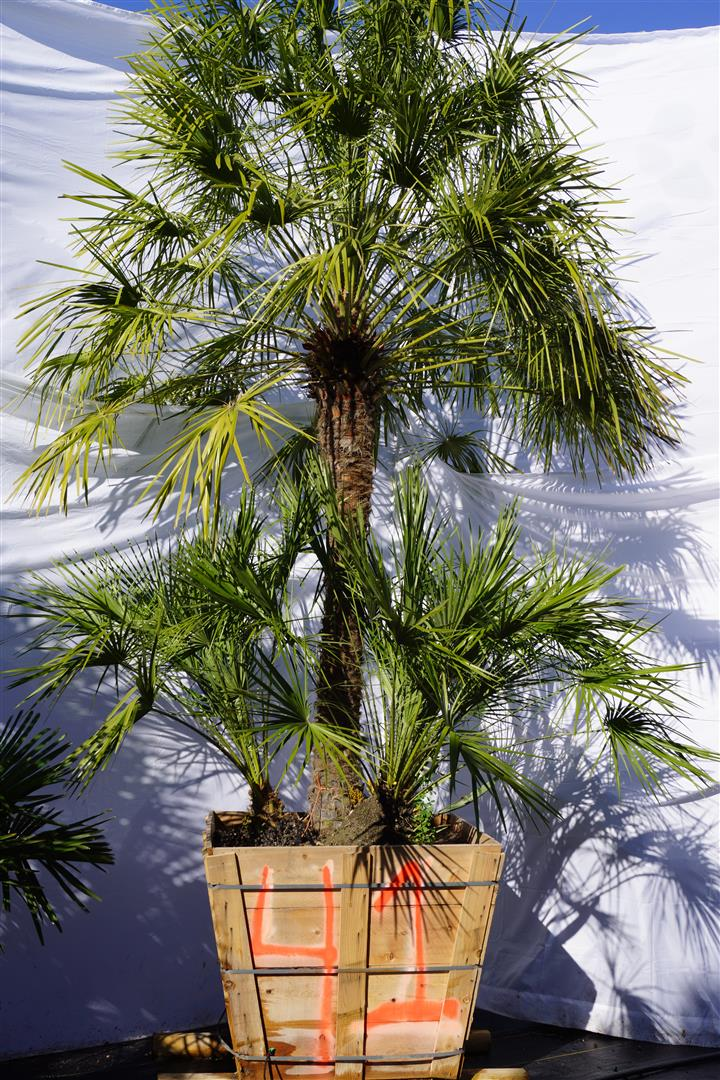 Palm Number: 41