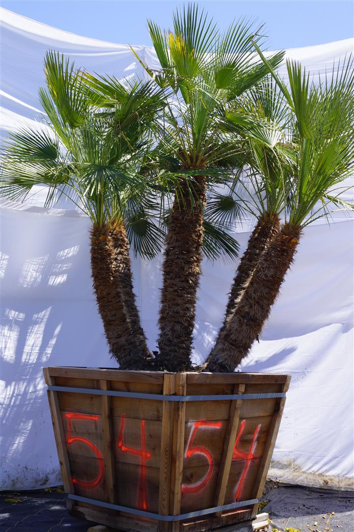 Palm Number: 54