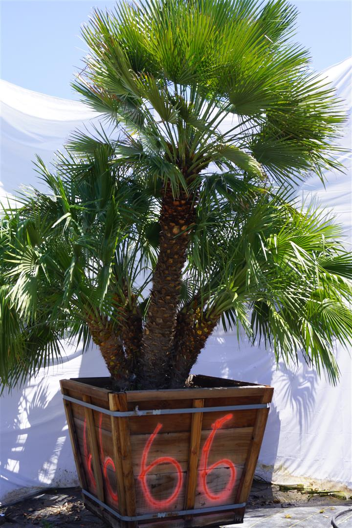 Palm Numbe:r 66