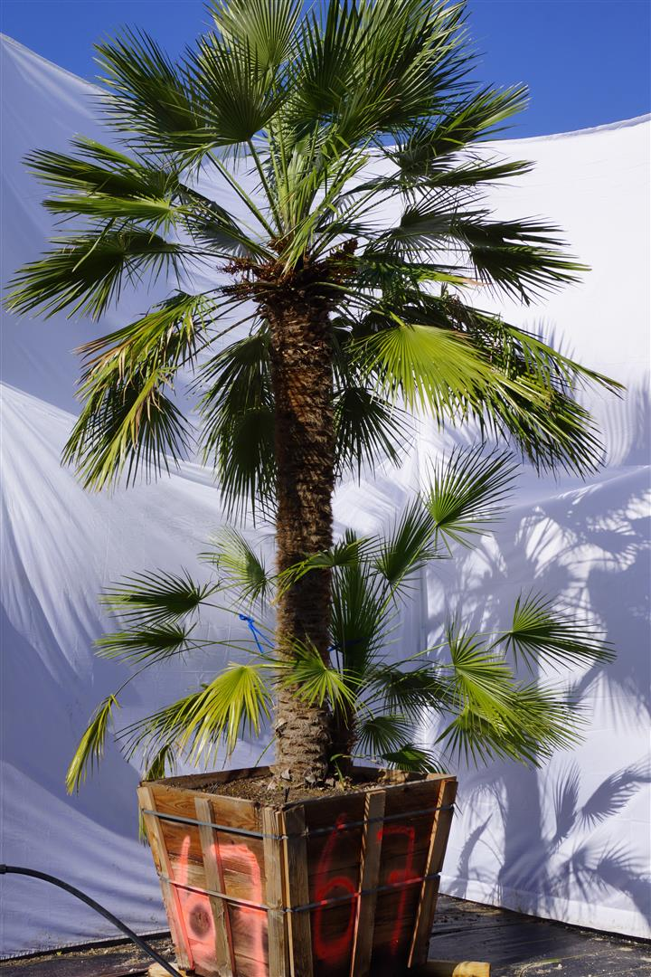 Palm Number: 67