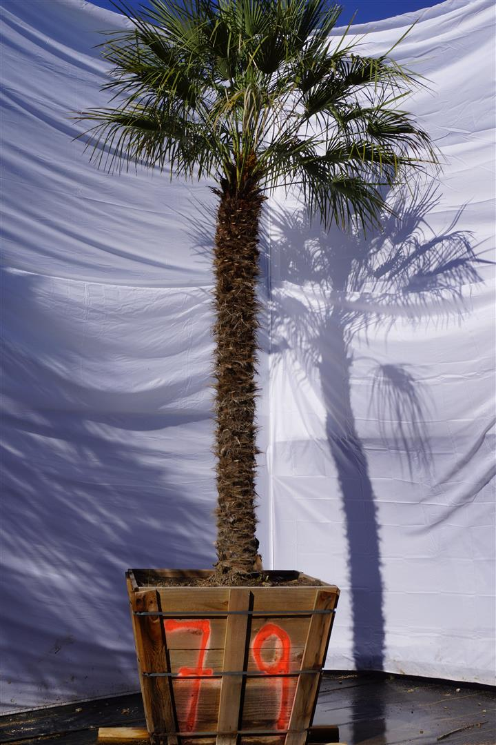 Palm Number: 79