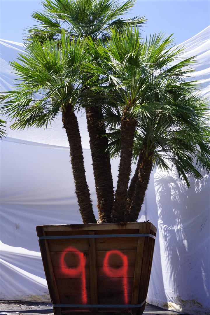 Palm Number: 99