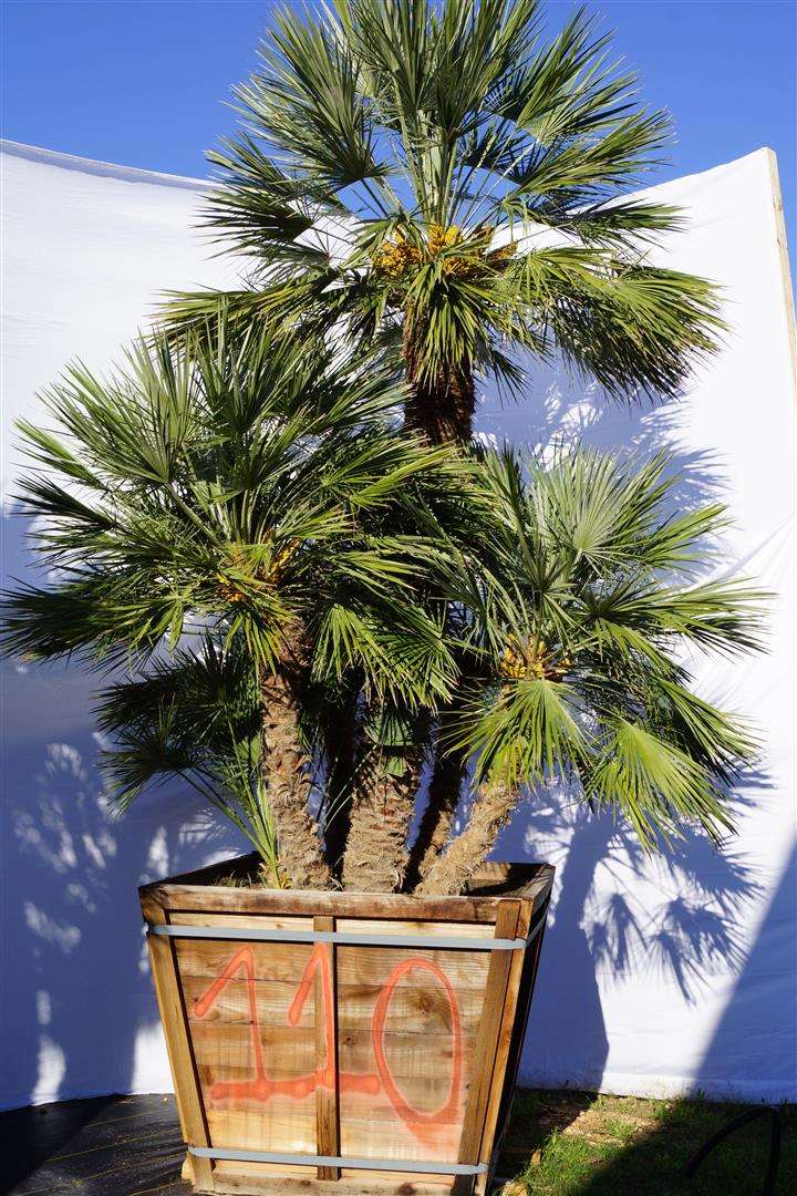 Palm Number: 110