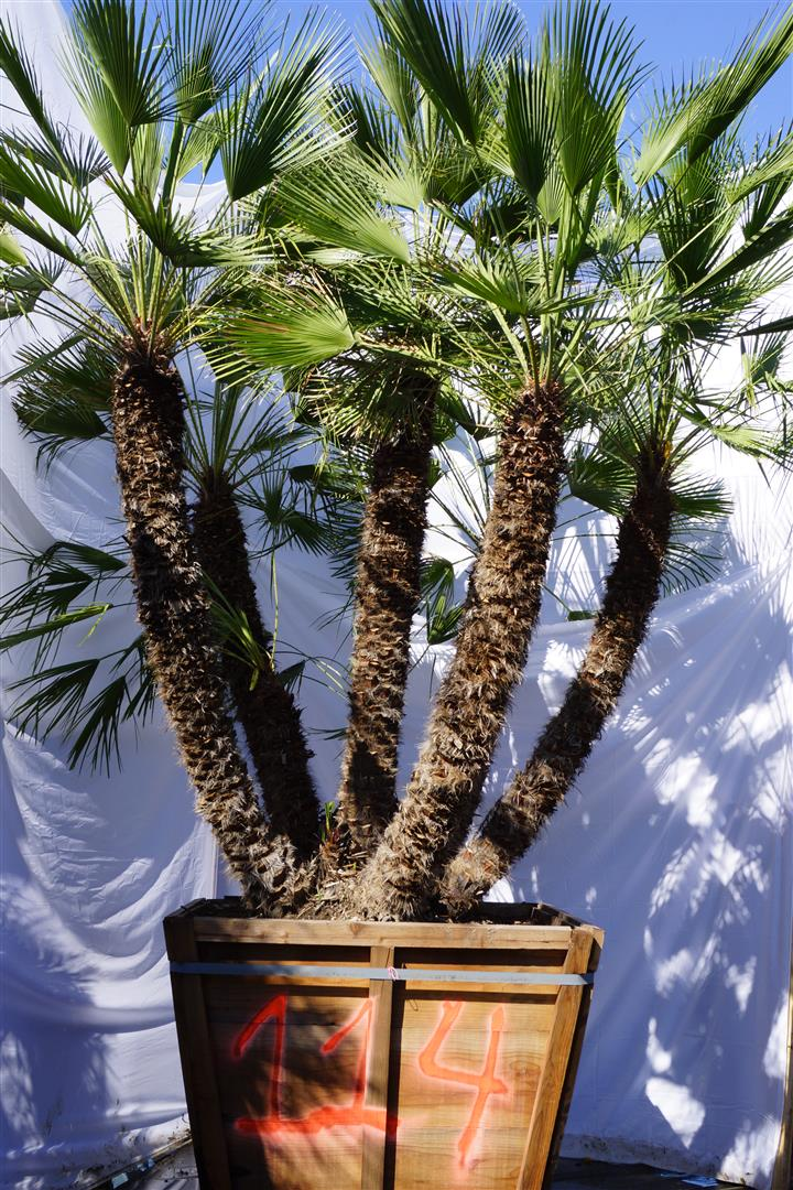 Palm Number: 114