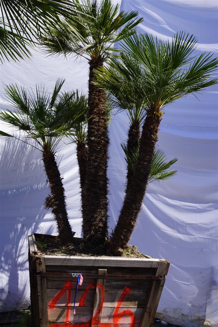 Palm Number: 126